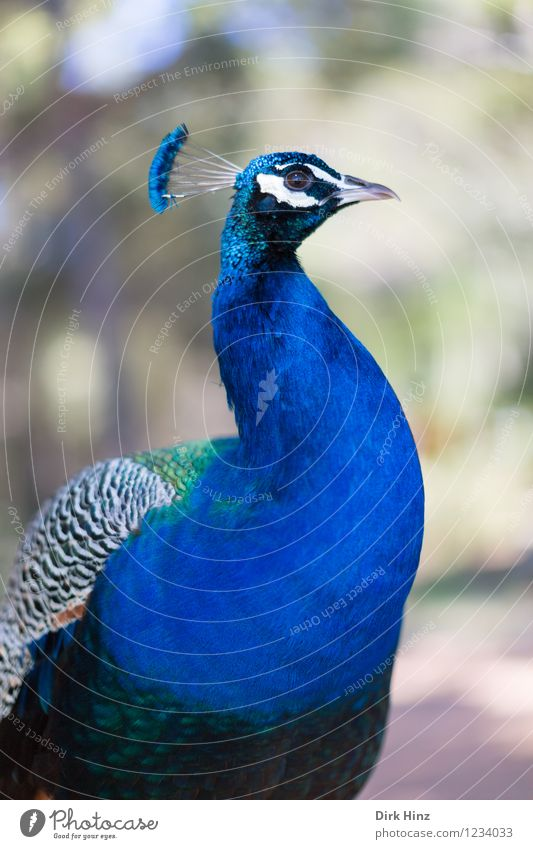 Peacock on Lokrum Environment Nature Animal Wild animal Bird Animal face Wing Zoo 1 Healthy Blue Esthetic Elegant Beautiful Environmental protection Animalistic