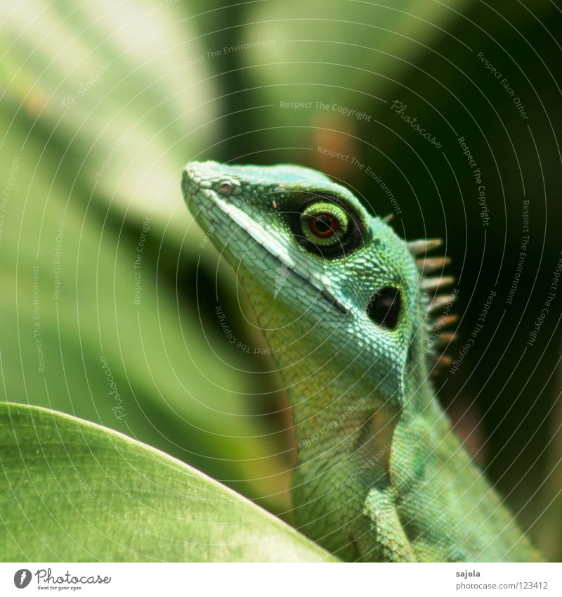 Green Animal Leaf Eyes Circle Long Asia Virgin forest Reptiles Lizards Saurians Agamidae Botanical gardens