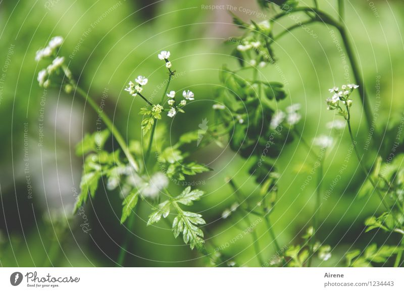Plant Green White Leaf Blossom Grass Natural Healthy Food Fresh Herbs and spices Delicious Organic produce Vegetarian diet Spring fever Agricultural crop
