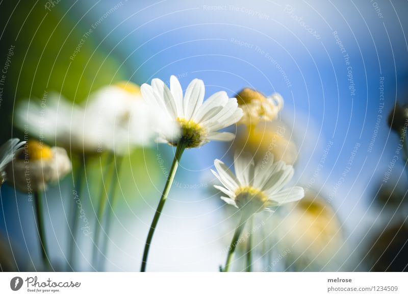 Sky Nature Blue Plant Beautiful Green Summer White Sun Relaxation Flower Clouds Yellow Blossom Style Garden