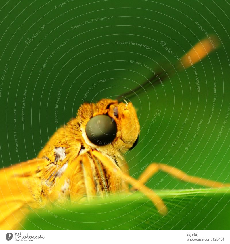 aye, aye, skipper Animal Butterfly Fat Near Curiosity Big head butterfly Pighead Insect Compound eye Asia Orange Facial expression Colour photo Exterior shot