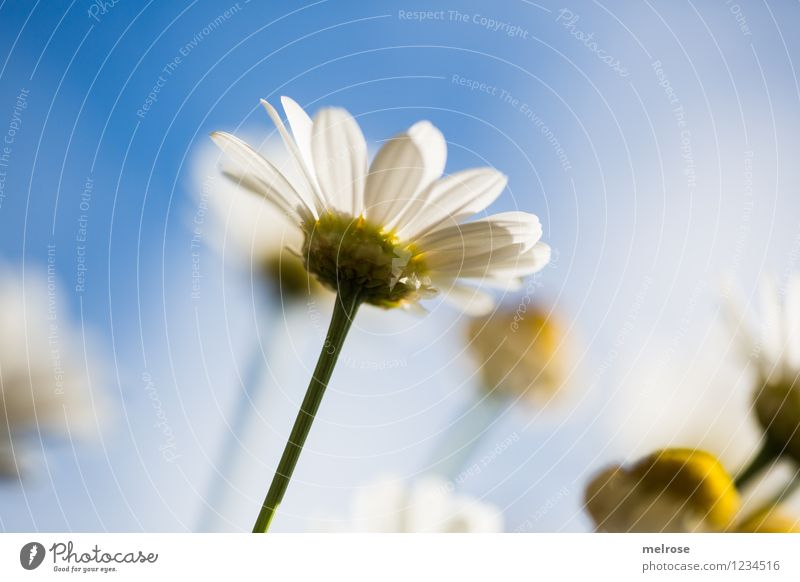 Sky Nature Blue Plant Beautiful Summer White Sun Relaxation Flower Yellow Blossom Style Garden Moody Bright