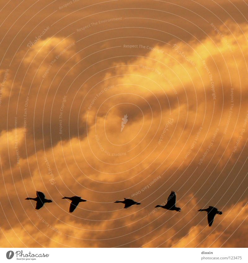 Clouds Freedom Bird Flying Group of animals Wing Infinity Row Wanderlust Dusk Goose Formation Bad weather Leader Animal