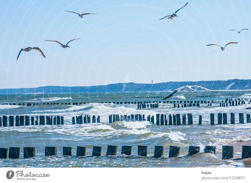 Seagulls circle over groynes at the Baltic Sea beach Leisure and hobbies Vacation & Travel Ocean Nature Animal Bird Flock Historic Blue Idyll Silvery gull