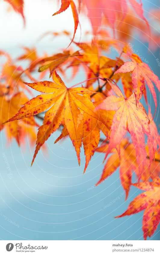 Nature Plant Beautiful Red Leaf Calm Yellow Warmth Autumn Garden Park Gold Beautiful weather Hope Seasons Autumn leaves