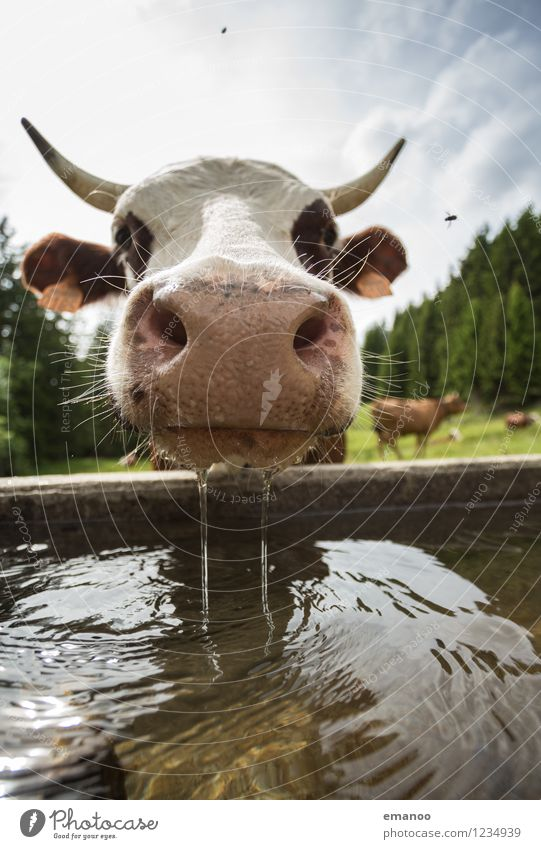 Nature Summer Water Relaxation Landscape Animal Warmth Funny Weather Fly Climate Wet Curiosity Drinking Alps Pasture