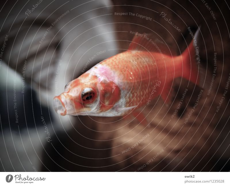 take a deep breath Fish Goldfish 1 Animal Breathe Swimming & Bathing Fatigue Mouth open Aquarium Water Wet Underwater photo Colour photo Subdued colour