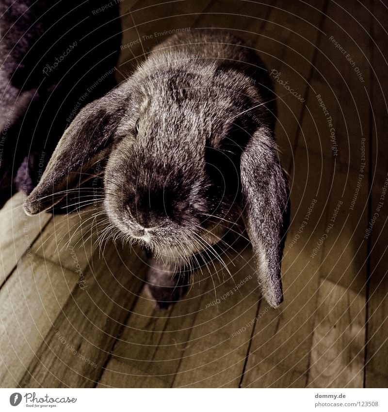 Animal Gray Small Nose Ear Cute Soft Animal face Curiosity Pelt Hare & Rabbit & Bunny Pet Mammal Snout Whisker Lop ears