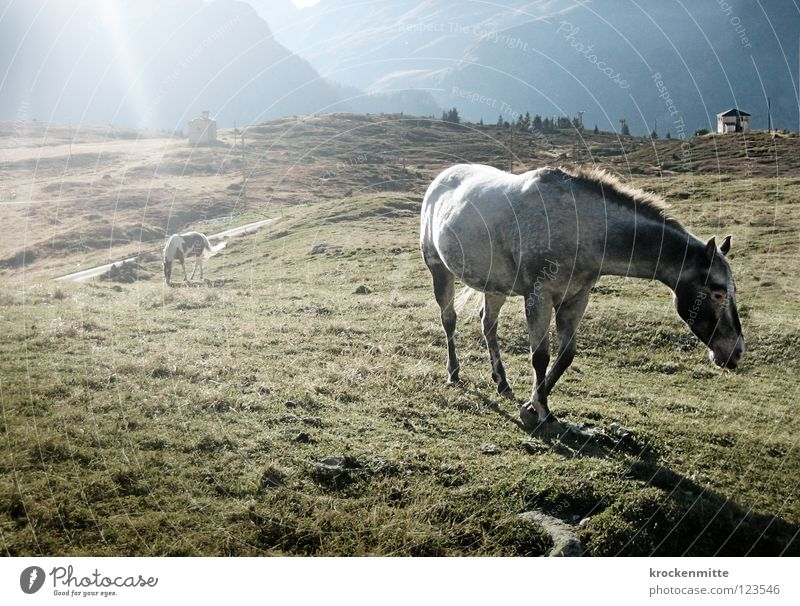 Come to where the flavor is Horse Meadow Sunbeam Alpine pasture Back-light Green Mane Mountain To feed Nutrition Alp Flix Switzerland Canton Graubünden Mammal