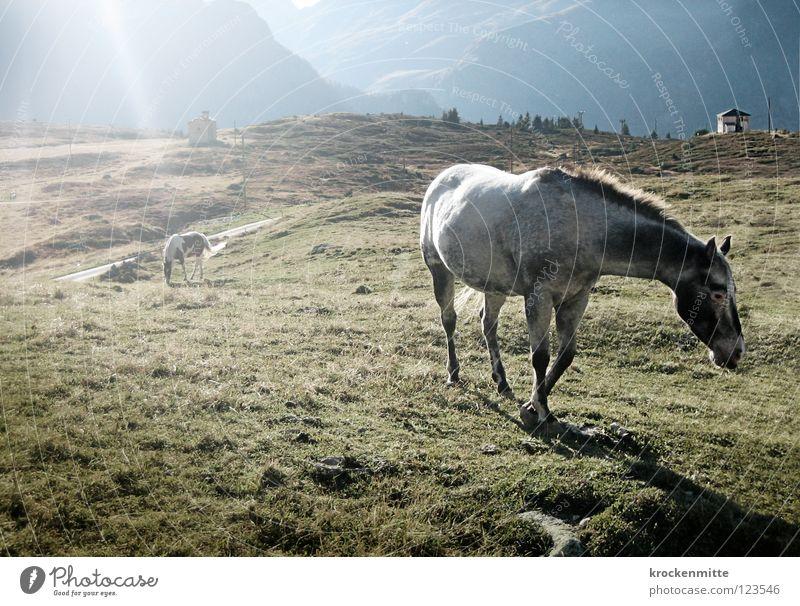 Sun Green Nutrition Meadow Mountain Freedom Horse Switzerland Pasture To feed Mammal Alpine pasture Mane Animal Canton Graubünden