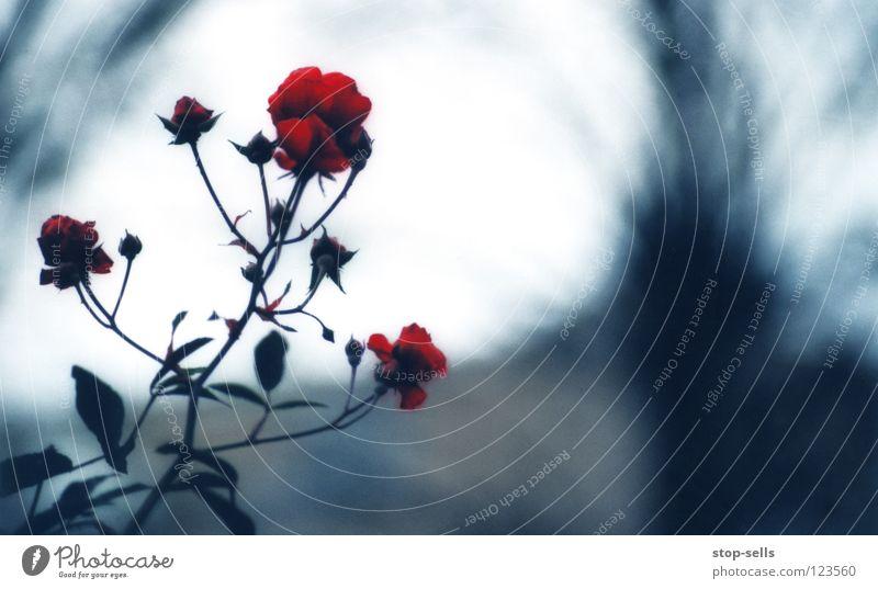 Blue Red Winter Cold Garden Blossom Dream Success 3 Rose Frame Coat Poison King Desire Hatred