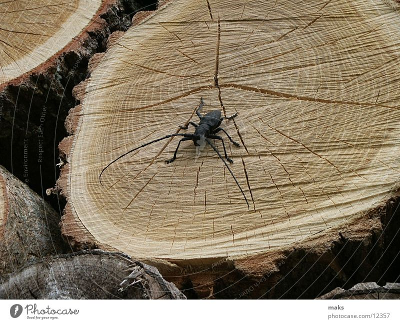 quick beetle Wood Tree bark Insect Beetle Detail