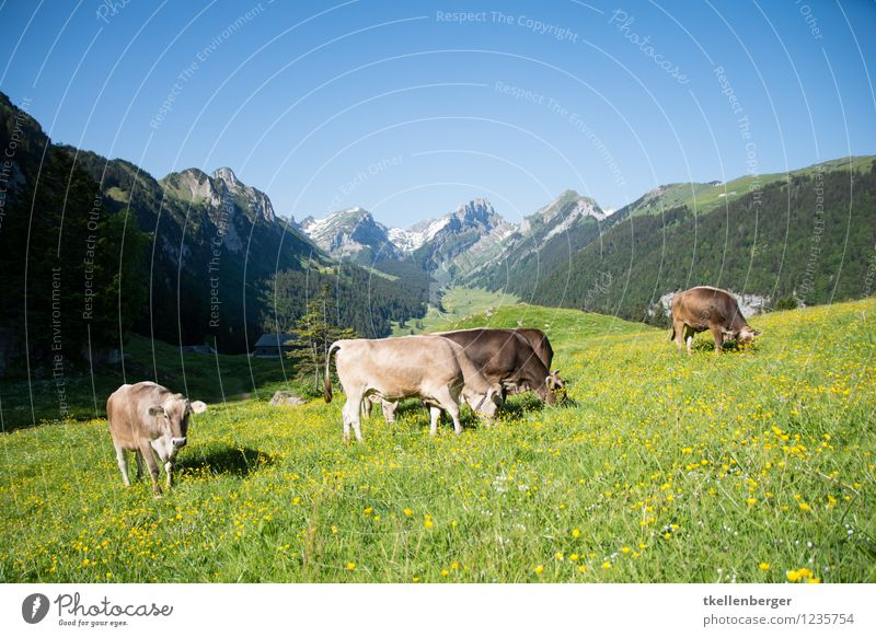 Nature Vacation & Travel Summer Relaxation Landscape Animal Mountain Spring Meadow Tourism Hiking Trip Group of animals Alps Pasture Cloudless sky