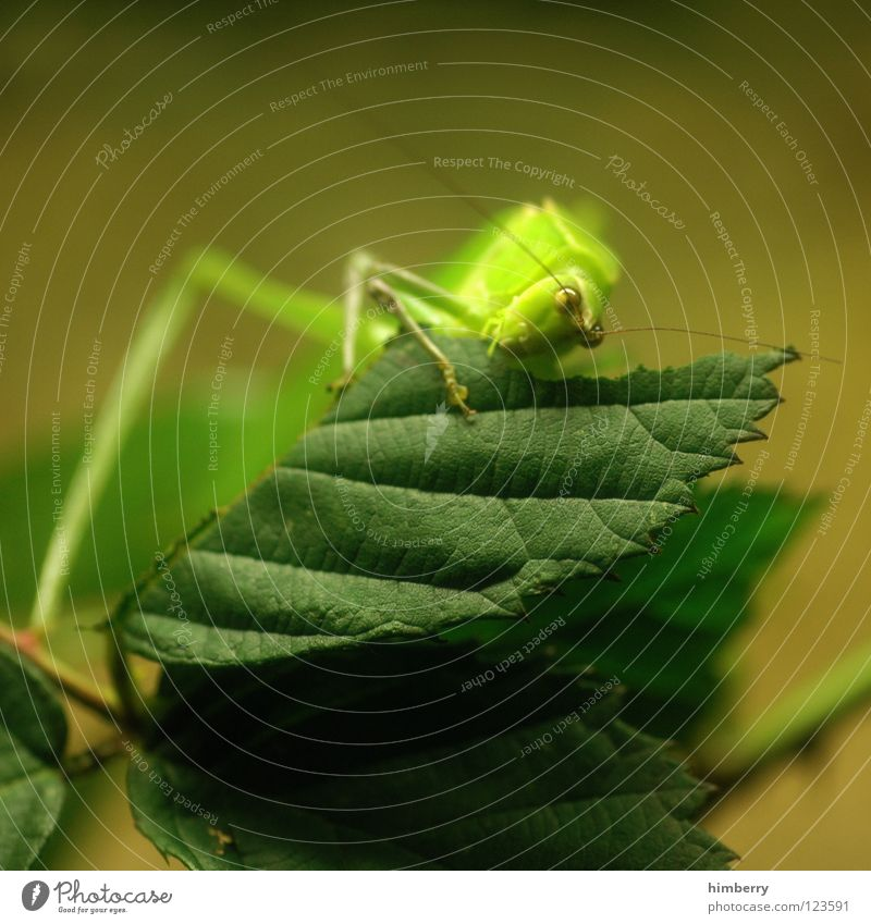 Nature Green Leaf Nutrition Animal Lamp Jump Insect To hold on To feed Hop Salto Locust Pests House cricket Gnaw