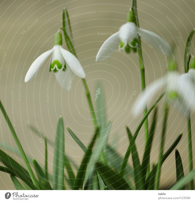 Spring in February... Snowdrop Flower Beautiful Small Cute Angiosperm Amaryllis March Winter sun Sunbeam Physics Green White Blossom Insect