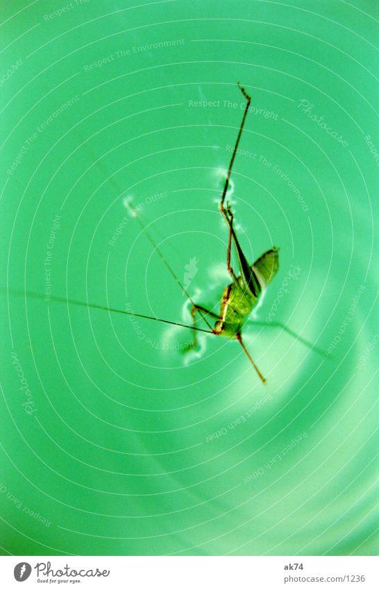 grasshopper Locust Green Water Macro (Extreme close-up)