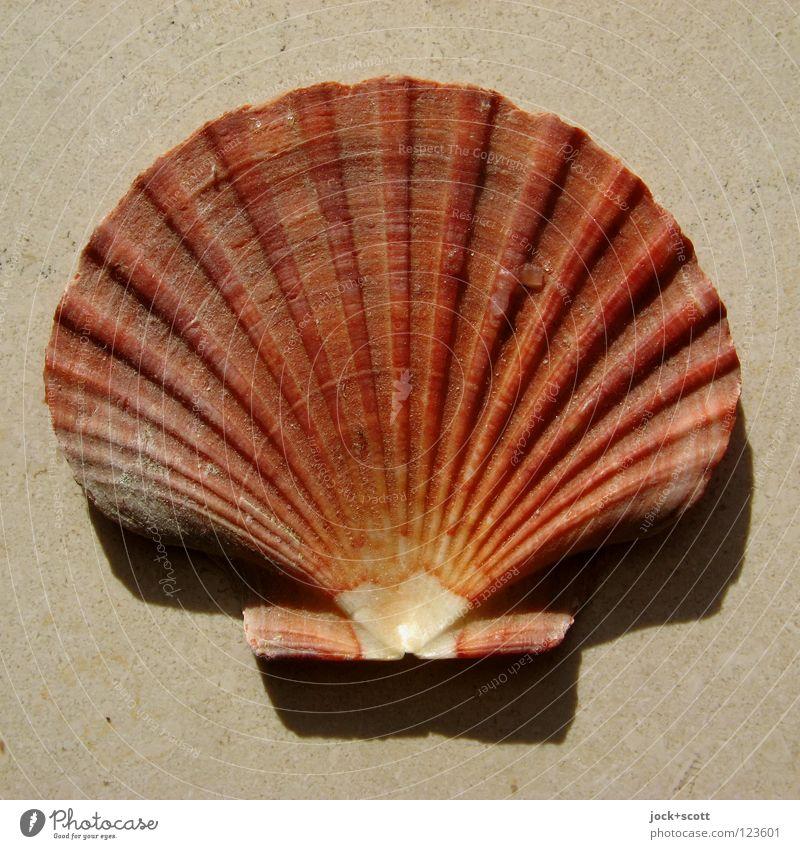 scallop Mussel 1 Animal Souvenir Collector's item Lie Famousness natural Esthetic Design Eternity Culture Force Three-dimensional Flotsam and jetsam facher