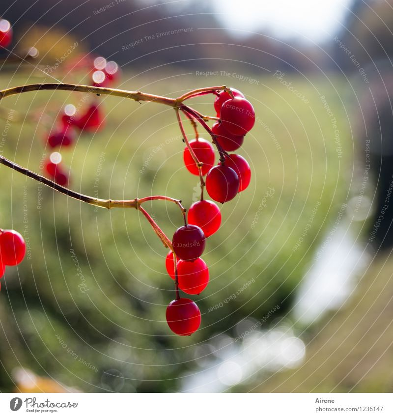 lantern festival Nature Plant Bushes Berries Brook Glittering Round Juicy Red Environmental pollution Many Colour photo Exterior shot Deserted