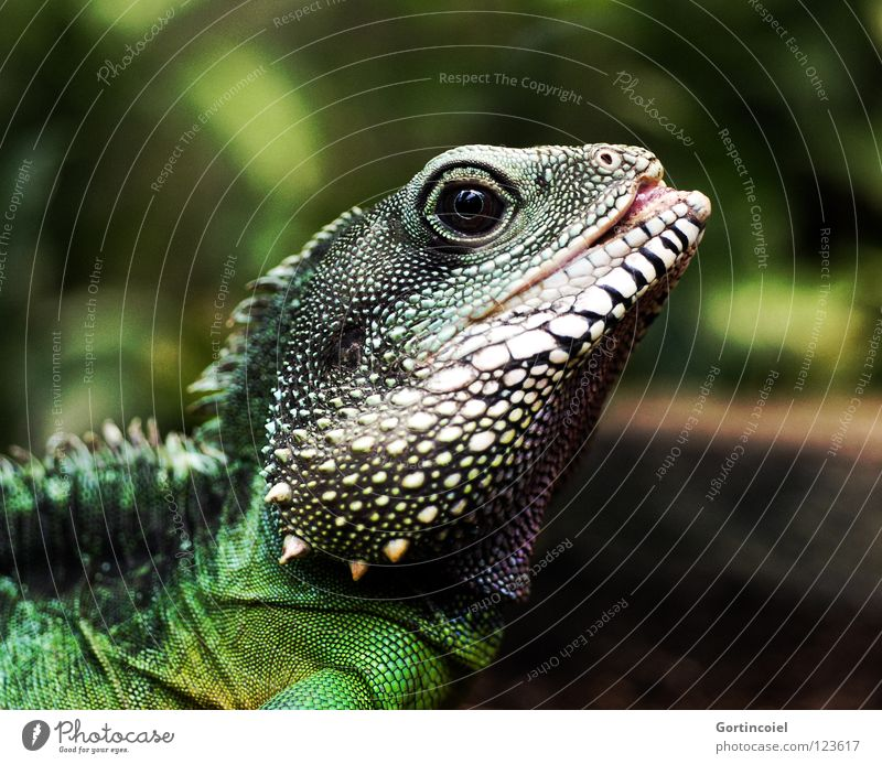 White Green Black Eyes Yellow Colour Style Skin Point Dry Zoo Leather Dragon Exotic Tongue Barn