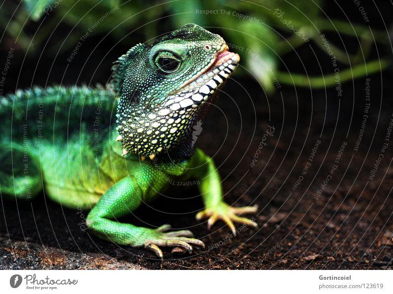 Echsot II Exotic Zoo Green Terrarium Reptiles Saurians Agamidae Water dragon Iguana Muzzle Tongue Physignathus cocincinus Colour photo Multicoloured Close-up
