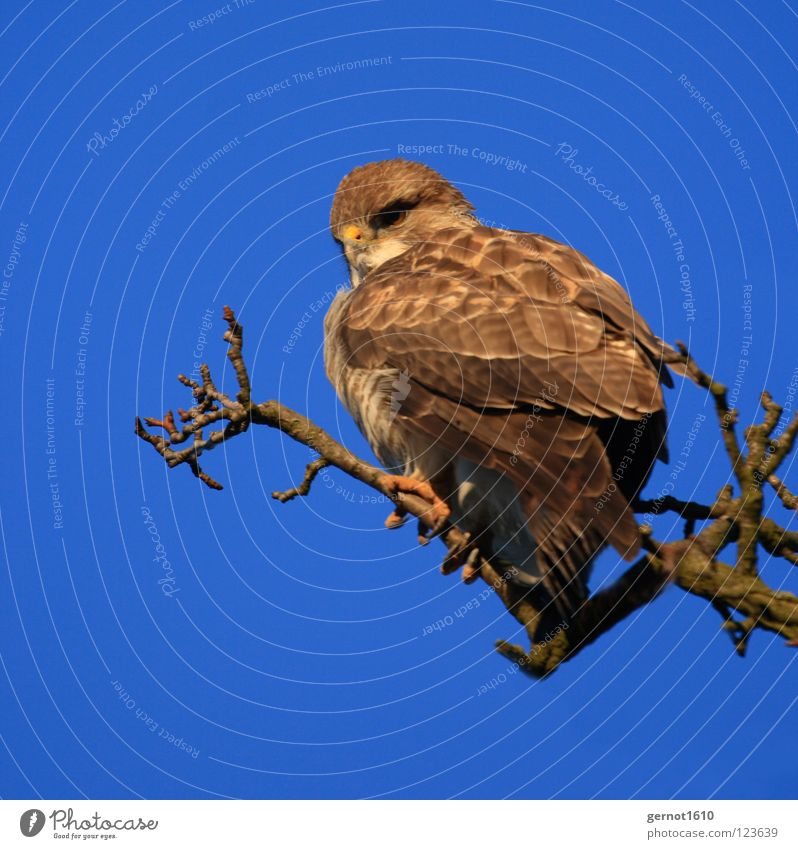 Buzzard, isn't it? Hawk Eagle Kite Common buzzard Bird of prey Hunter Claw Vantage point Brown Yellow Beak Concentrate carnivore prey hunter Looking Flying Blue