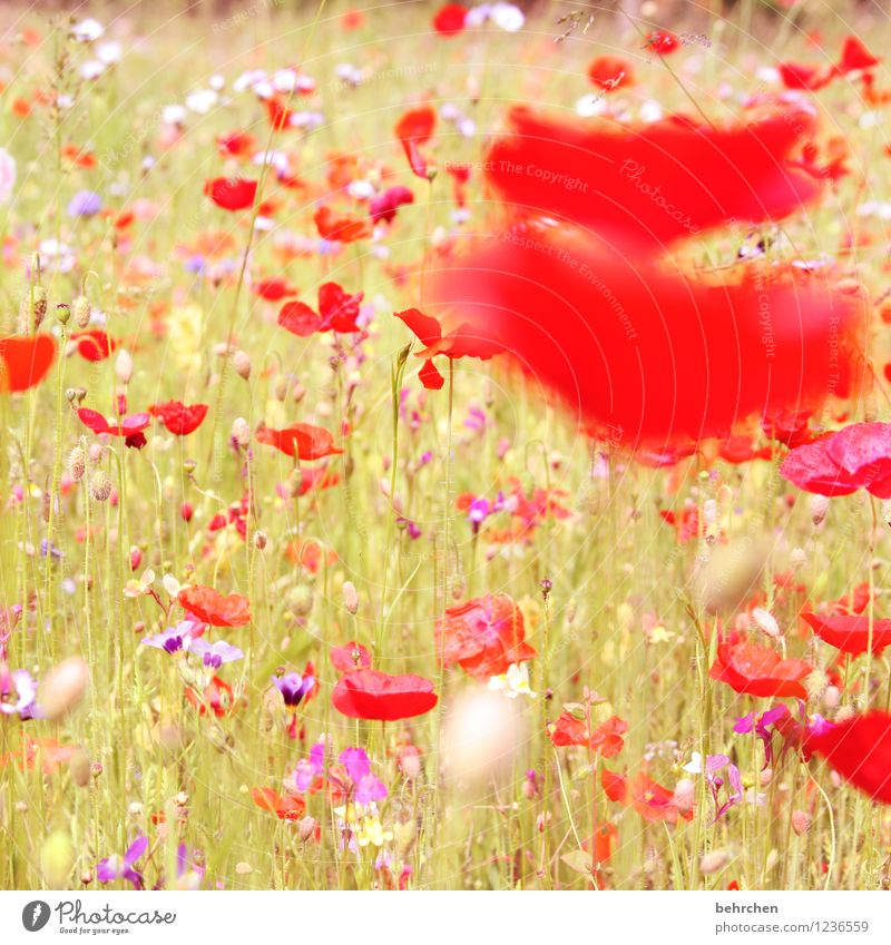 splotch of paint Nature Plant Spring Summer Autumn Beautiful weather Flower Grass Leaf Blossom Wild plant Poppy Garden Park Meadow Field Blossoming Faded Growth