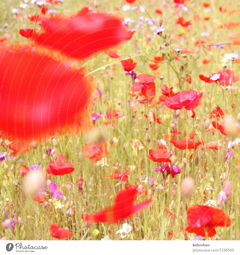 n Nature Plant Sun Spring Summer Beautiful weather Flower Grass Leaf Blossom Wild plant Poppy Garden Park Meadow Field Blossoming Growth Kitsch Violet Pink Red