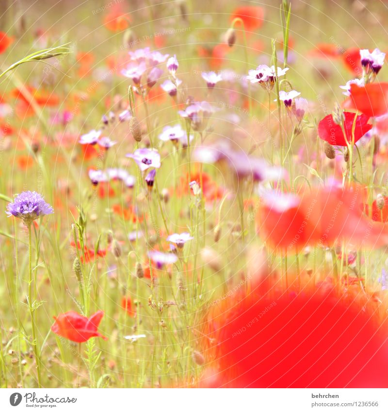 T Nature Plant Sun Spring Summer Autumn Beautiful weather Flower Grass Leaf Blossom Wild plant Poppy Garden Park Meadow Field Blossoming Growth Kitsch Violet
