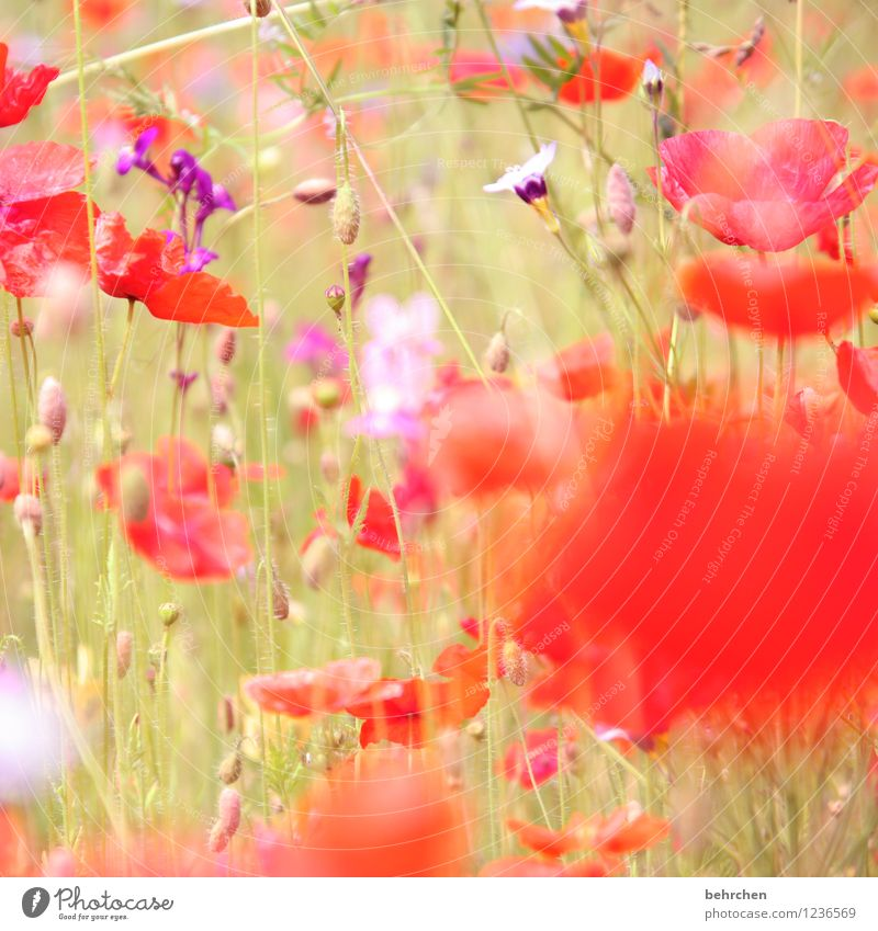Nature Plant Beautiful Summer Flower Red Leaf Spring Blossom Meadow Grass Garden Field Growth Blossoming Beautiful weather