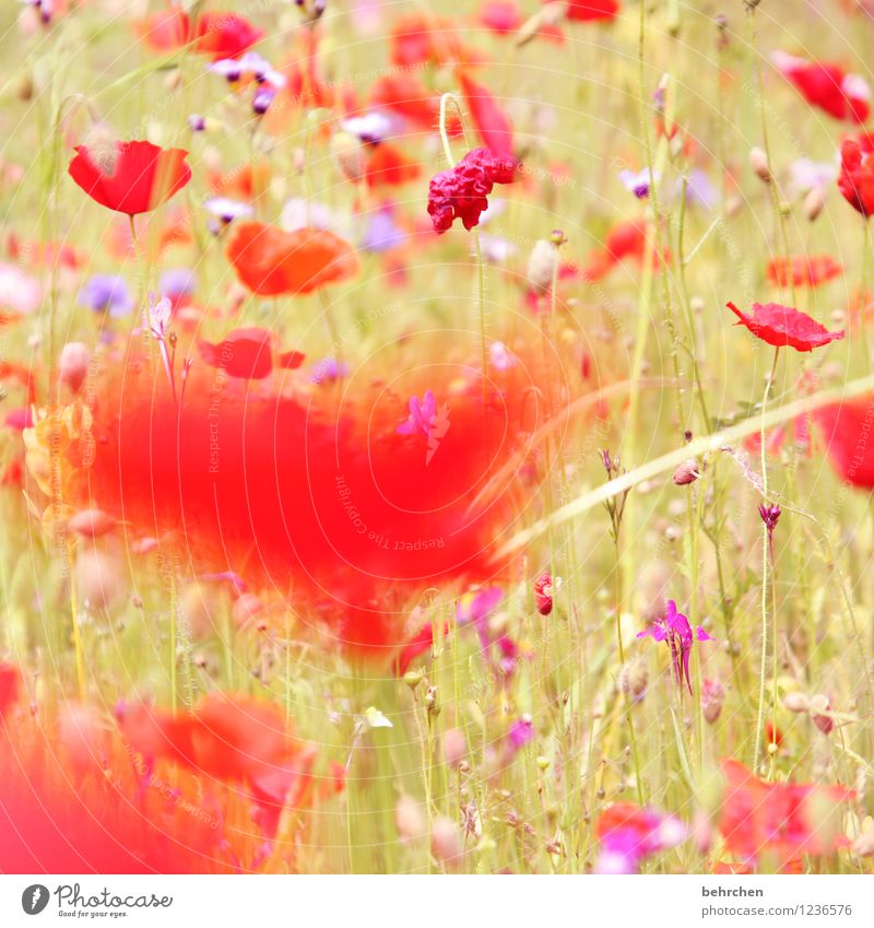 Nature Plant Beautiful Summer Flower Red Leaf Blossom Spring Meadow Grass Garden Park Field Growth Fresh