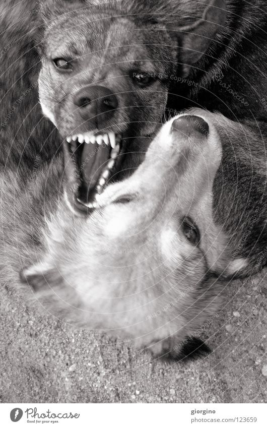aaagghhh Power Animal Dangerous Might dog fight teeth dogs black&white Black & white photo dog eyes ground playing dogs dog play danger animals strong challenge