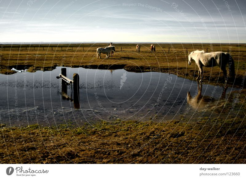 Horse Island Pasture Field Steppe Pond Puddle Grass Grassland Reflection Clouds Coast Elapse Animal Mirror image Beach Mammal Landscape Level Beach dune