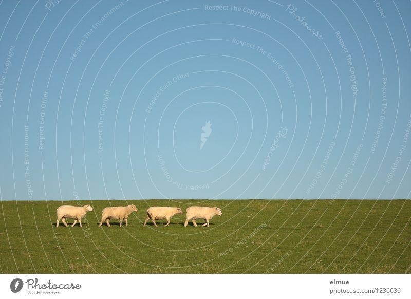 Herda, Uschi, Elvira and Molli on the way to (mowing) work Cloudless sky Horizon Summer Beautiful weather Grass Dike Sheep 4 Animal Group of animals Goose step