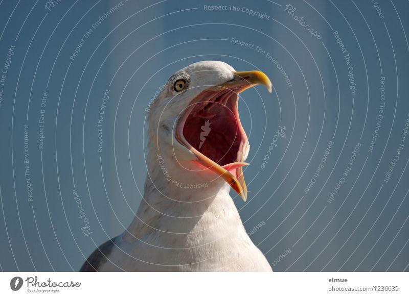 The scream. Bird Seagull Common gull Warn Beak Open Crash gull cry Communicate Scream Rebellious Blue White Euphoria Passion Watchfulness Anger Aggravation