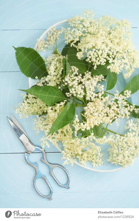 elderberry blossoms Plate Summer Natural Blue Elder Elderflower Scissors Plant Eating elderflower syrup Colour photo Studio shot Bird's-eye view