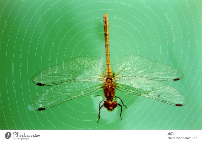 dragonfly Dragonfly Green Insect Water Macro (Extreme close-up) Wing Flying
