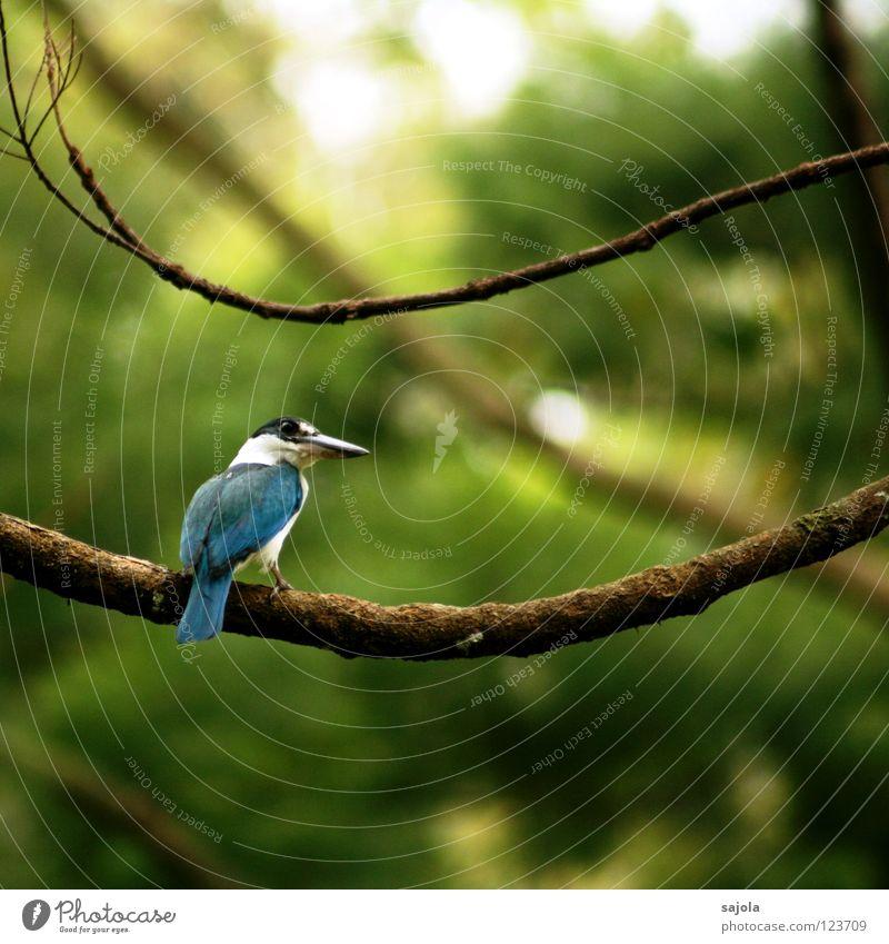 White Tree Blue Calm Black Animal Bird Asia Branch Virgin forest Beak Tails Singapore Kingfisher
