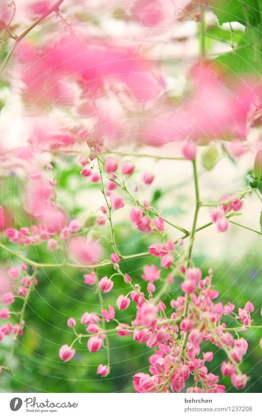 pink dream Nature Plant Spring Summer Beautiful weather Tree Leaf Blossom Wild plant Garden Park Meadow Blossoming Fragrance Faded Growth Small Natural Green