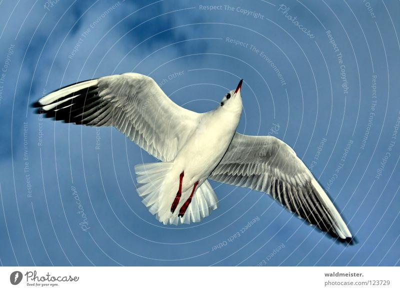 Sky Ocean Beach Bird Flying Aviation Feather Wing Seagull Beak Black-headed gull