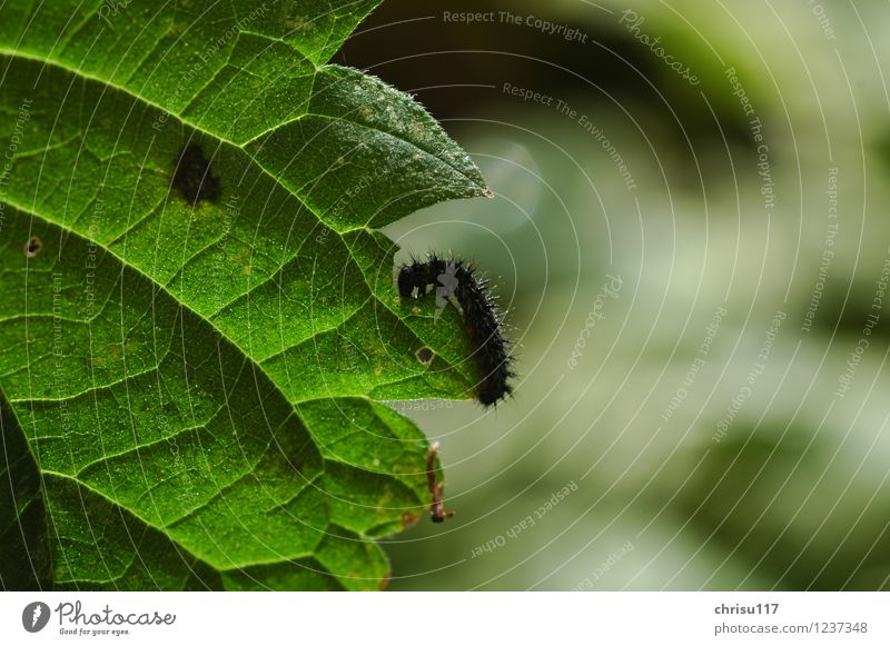 hungry small caterpillar / peacock eye Nature Plant Leaf Foliage plant Meadow Animal Wild animal Butterfly 1 Baby animal To feed Crawl Caterpillar