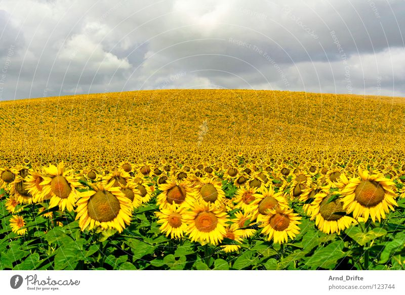 Sunflower field II Clouds Field Flower Summer Yellow White Spring Horizon Agriculture Diligent Work and employment Happiness Friendliness Fresh Sky Sunflower.