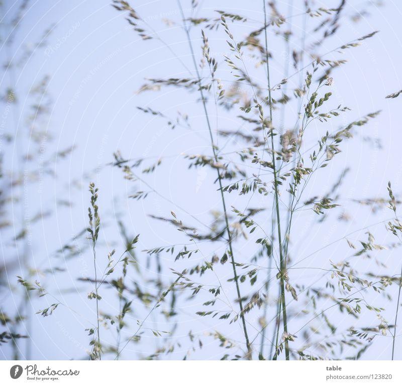 hyposensitization Grass Meadow Summer Physics Light blue Green Worm's-eye view Ear of corn Grassland Flowering plant Blade of grass Joy Sky Warmth Lie Blue