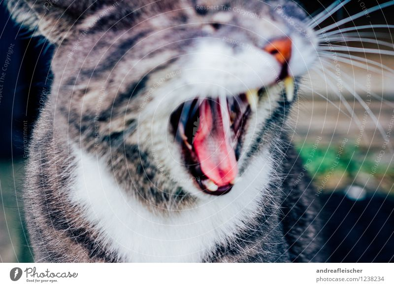 Cat Animal Emotions Gray Moody Fear Elegant Dangerous Threat Pelt Set of teeth Brave Appetite Stress Pet Scream