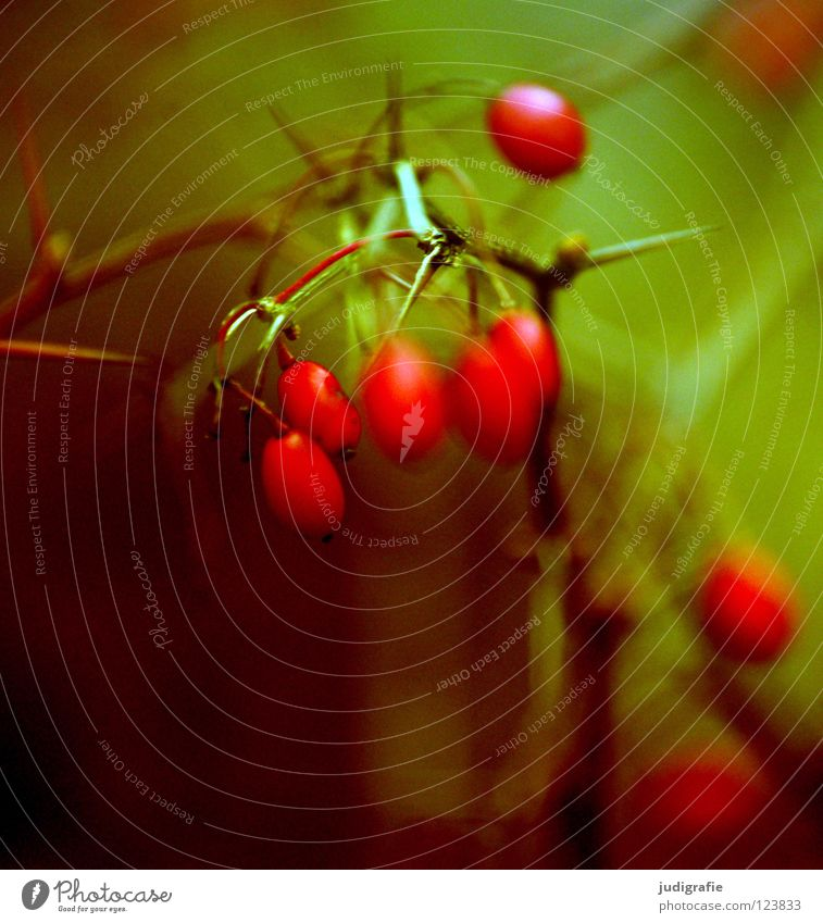 Nature Green Red Winter Loneliness Colour Autumn Cold Environment Small Fruit Wet Bushes Delicate Tea Twig