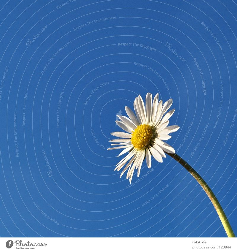 Blue White Flower Joy Loneliness Yellow Meadow Spring Blossom Growth Beautiful weather Stalk Daisy Ascending Blue sky Blossom leave