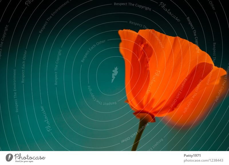 Poppy seed II Nature Plant Spring Summer Flower Blossom Poppy blossom escholzia californica Blossoming Illuminate Athletic Orange Red Moody Esthetic Contentment