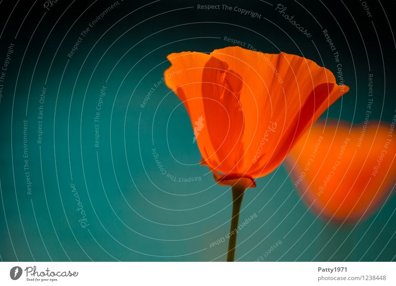 Nature Plant Summer Flower Red Spring Blossom Moody Contentment Orange Illuminate Esthetic Blossoming Mysterious Fragrance Poppy