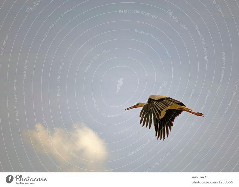 Master Adebar Air Sky Summer Beautiful weather Animal Wild animal Bird Stork 1 Running Elegant Speed Blue Freedom Environment Flying Kindergarten