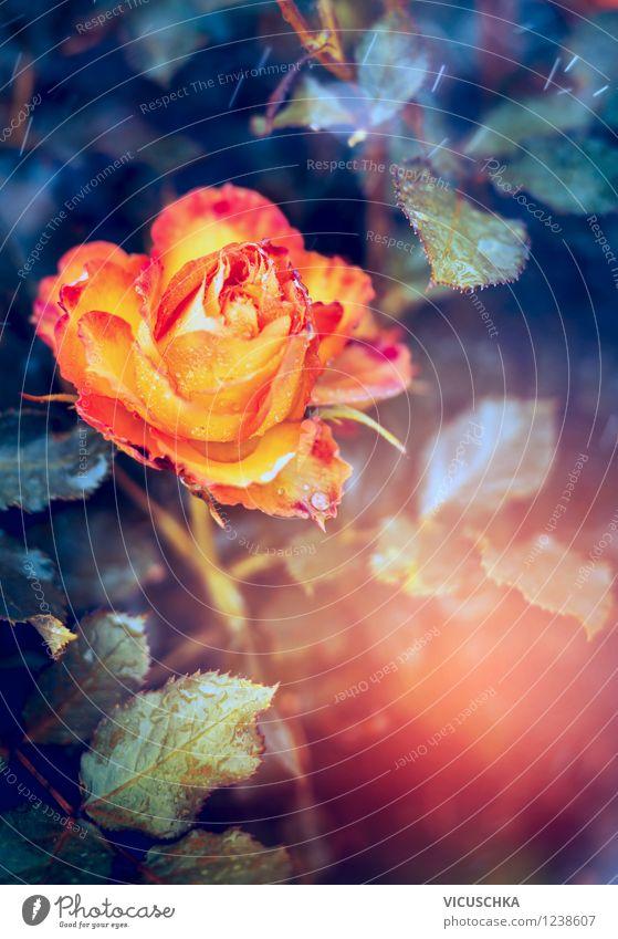 Yellow orange Rose Lifestyle Style Design Garden Feasts & Celebrations Nature Plant Sunrise Sunset Summer Autumn Beautiful weather Flower Leaf Blossom Park
