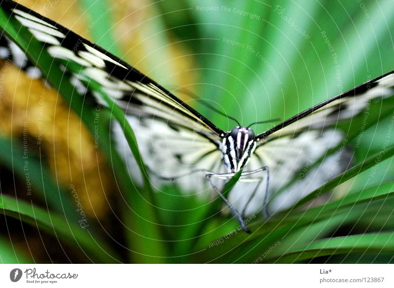 Nature White Green Beautiful Leaf Black Head Flying Sit Stripe Wing Insect Butterfly Easy Fine Feeler
